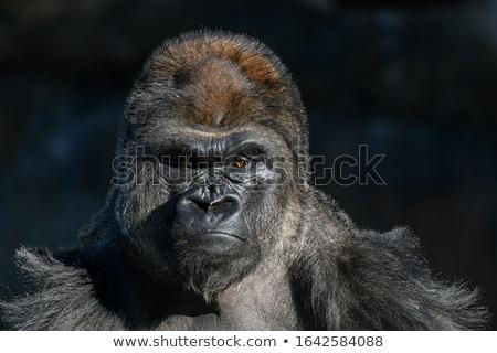 bebek · goril · kadın · oturma · beton · hayvan - stok fotoğraf © compuinfoto