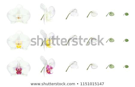 beautiful  Phalaenopsis  Stock photo © Peredniankina