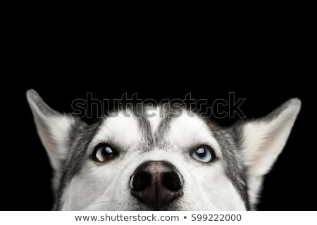Husky perro dos perros aire libre nieve Foto stock © IMaster