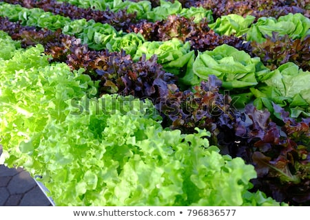 watering lettuce fields Stock photo © franky242