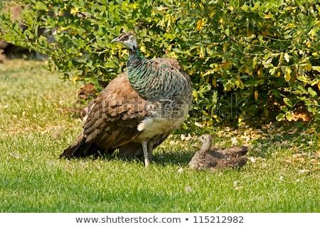 Peacock (Pavo cristatus) Stock photo © dirkr