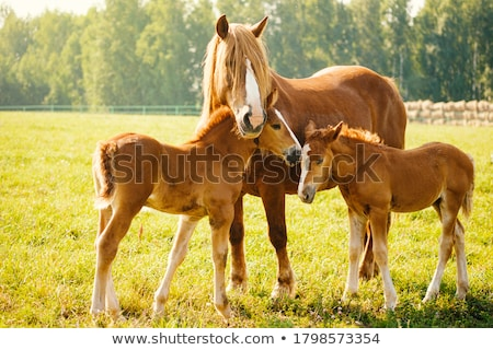 Stock photo: brown horse with a foal