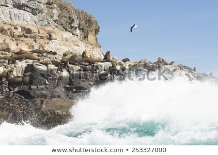 Fur Seal in Tasmania on remote island Southern Ocean Stock photo © roboriginal