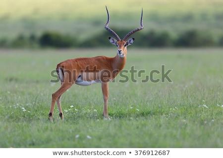 África · do · Sul · natureza · animal · safári · mamífero - foto stock © simoneeman