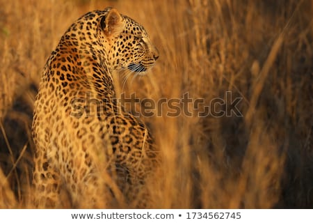 a leopard looking back in the kruger stock photo © simoneeman