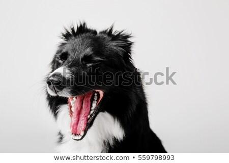cane · isolato · bianco · english - foto d'archivio © iofoto