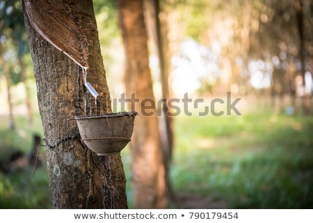 Natural latex dripping from rubber tree Stock photo © Mikko
