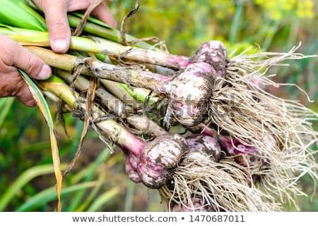 чеснока рук женщины урожай время Сток-фото © Yatsenko