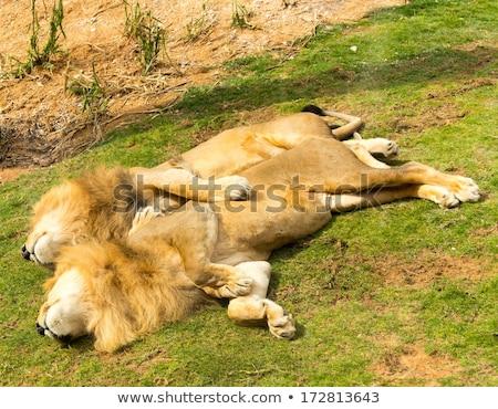 oroszlán · alszik · állatkert · Barcelona · kint · vízszintes - stock fotó © simoneeman