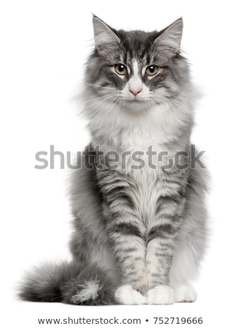 Cute gray cat on white background Stock photo © bluering