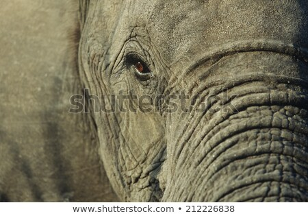 Close up of an Elephant in Chobe. stock photo © simoneeman