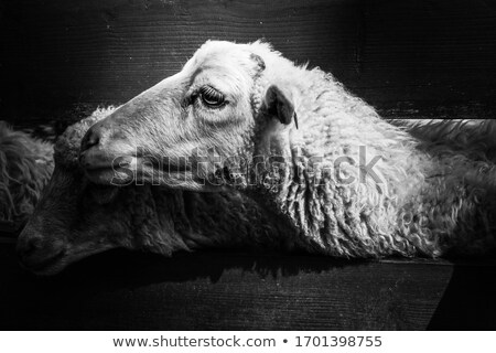 Zwarte schapen boerderij geïsoleerd dier donkere Stockfoto © popaukropa
