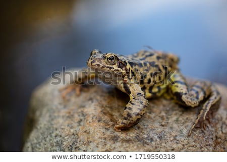 young european common green toad Stock photo © taviphoto
