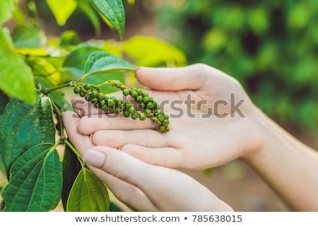 手 若い女性 黒コショウ ファーム ベトナム 緑 ストックフォト © galitskaya