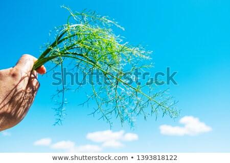 Homem galho funcho mão caucasiano Foto stock © nito