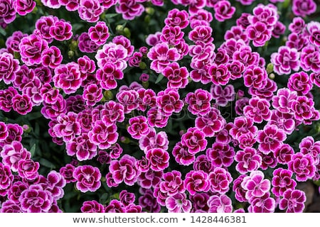 Dianthus 'Pink Kisses' flowers on white background Stock photo © CatchyImages
