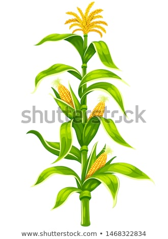 Maize corn cobs on plant stem isolated vector set Stock photo © LoopAll