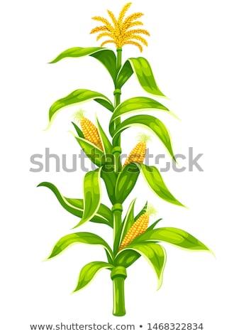 kłosie · dojrzały · kukurydza · rolniczy · wole · ilustracja - zdjęcia stock © loopall