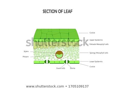 Células sección transversal científico vista capa piel Foto stock © albund