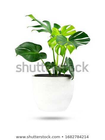 Plant with Big Leaves in Pot, Houseplant for Decor Stock photo © robuart