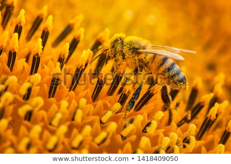 Honeybee Covered in Pollen in a Sunflower stock photo © Frankljr