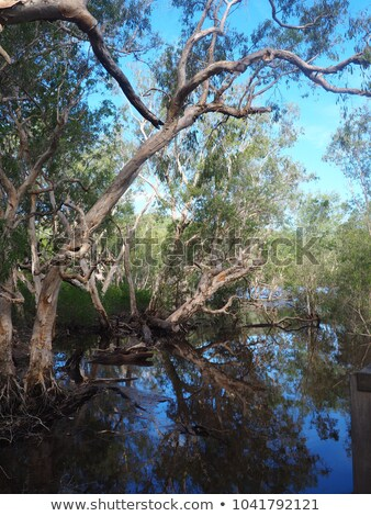 river gum trees reflecting in river Stock photo © clearviewstock