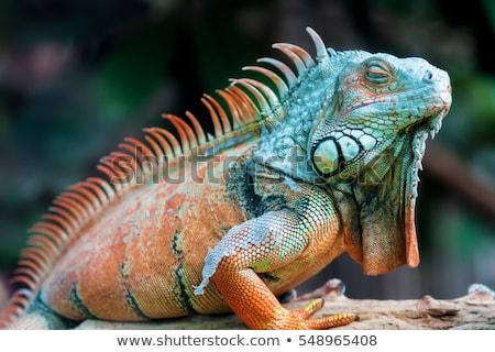 Iguana hüllő alszik fa test zöld Stock fotó © Witthaya