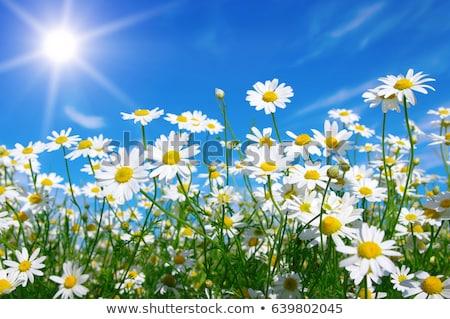 デイジーチェーン フィールド 春 風景 夏 緑 ストックフォト © haiderazim