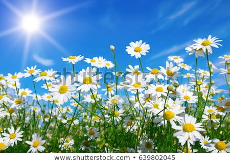 Daisy области весны пейзаж лет зеленый Сток-фото © haiderazim