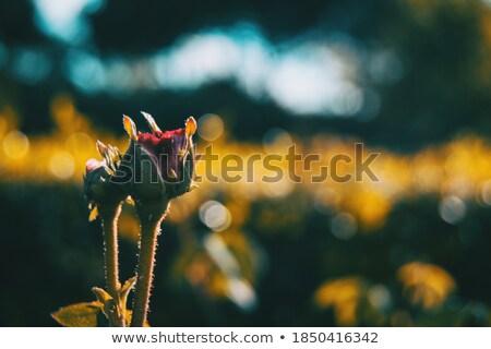 Gül goncası güzel bir kadın el eller sağlık güzellik Stok fotoğraf © dolgachov