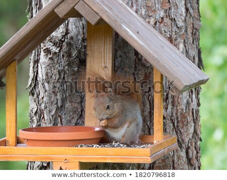 Red Squirrel Eating Seeds Stock photo © rhamm