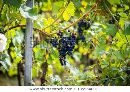 mezők · szőlőtőke · kilátás · háttér · mező · ipar - stock fotó © lunamarina