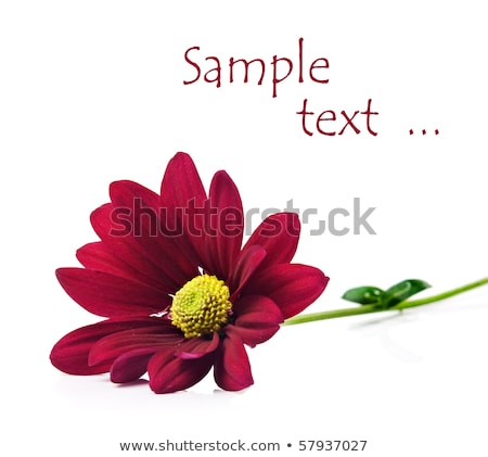Saf Beyaz Zemin Üzerine Derin Kırmızı Krizantem Çiçekleri Stok fotoğraf © Tish1