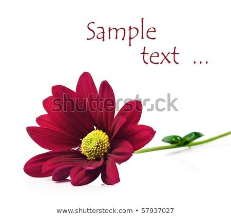 Stockfoto: Diep · Rood · chrysant · bloemen · zuiver · witte