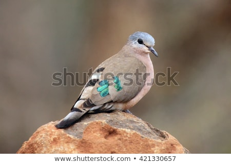 Emerald Spotted Dove - Wild Birds from Africa Stock photo © Livingwild