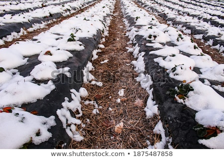 fields are covered with foil to protect plants from frost Stock photo © meinzahn