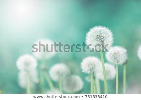 życia · cyklu · Dandelion · etapie · jeden · obraz - zdjęcia stock © compuinfoto