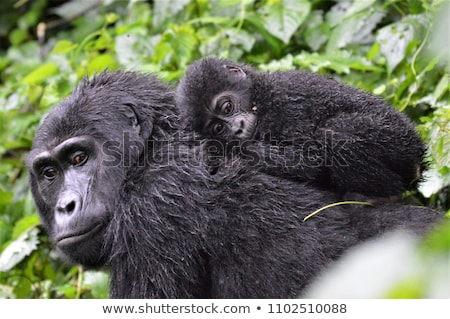 şempanze · çim · kadın · oturma · bakıyor · kamera - stok fotoğraf © dermot68