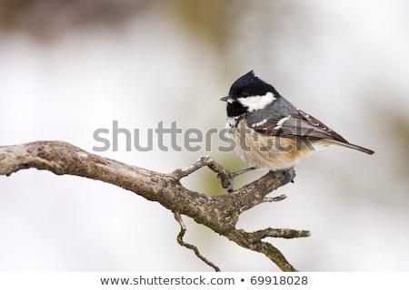 石炭 · 売り言葉 · 支店 · 鳥 · 立って · 自然 - ストックフォト © hjpix
