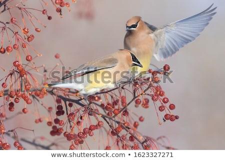 cedro · albero · uccello · colore · naturale · orizzontale - foto d'archivio © ca2hill