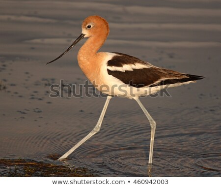 Striding American Avocet