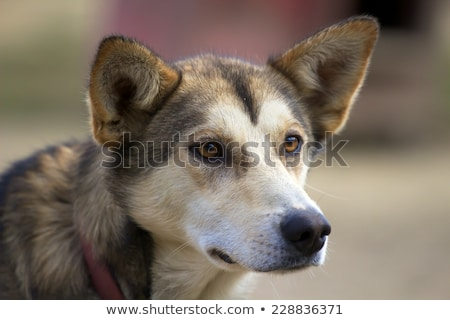 Stock photo: Head of Alaskan husky with ears pricked up looking sideways