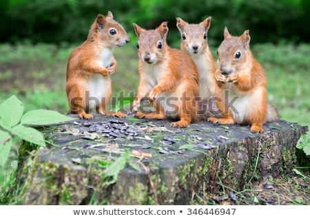 Mókusok család illusztráció állat legelő mókus Stock fotó © adrenalina