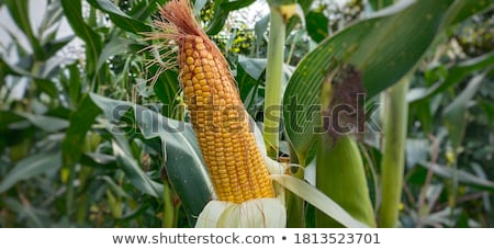 maize Stock photo © Nekiy