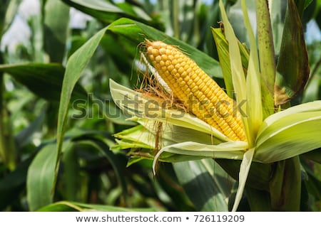 sweet corn in summer growing at the field Stock photo © meinzahn