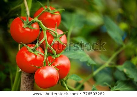 érett paradicsomok egyezség nyers piros fonott Stock fotó © zhekos