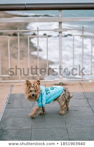 ビーチ ヨークシャー 楽しい パーフェクト 肖像 動物 ストックフォト © tobkatrina