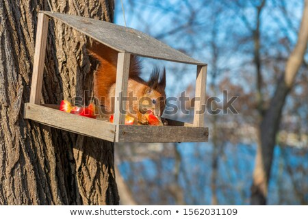 red squirrel inside of bird feeder in winter stock photo © pictureguy