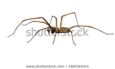 Barna pók fehér illusztráció boldog művészet Stock fotó © bluering