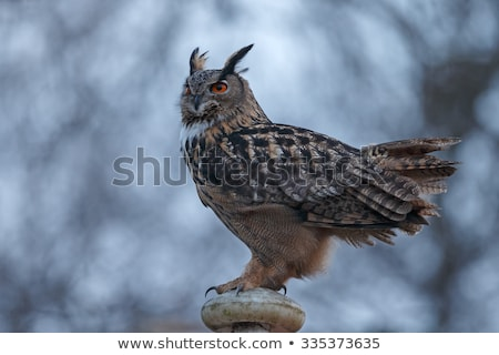 Portrait of The Eurasian Eagle Owl (Bubo bubo) stock photo © stefanoventuri